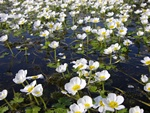Pond Water Crowfoot (Ranunculus peltatus ssp. peltatus)